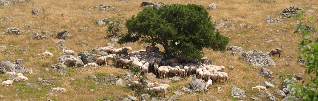 Agnelli sardi igp nelle campagne della Sardegna