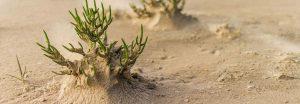 Pianta di asparago di mare sulla sabbia