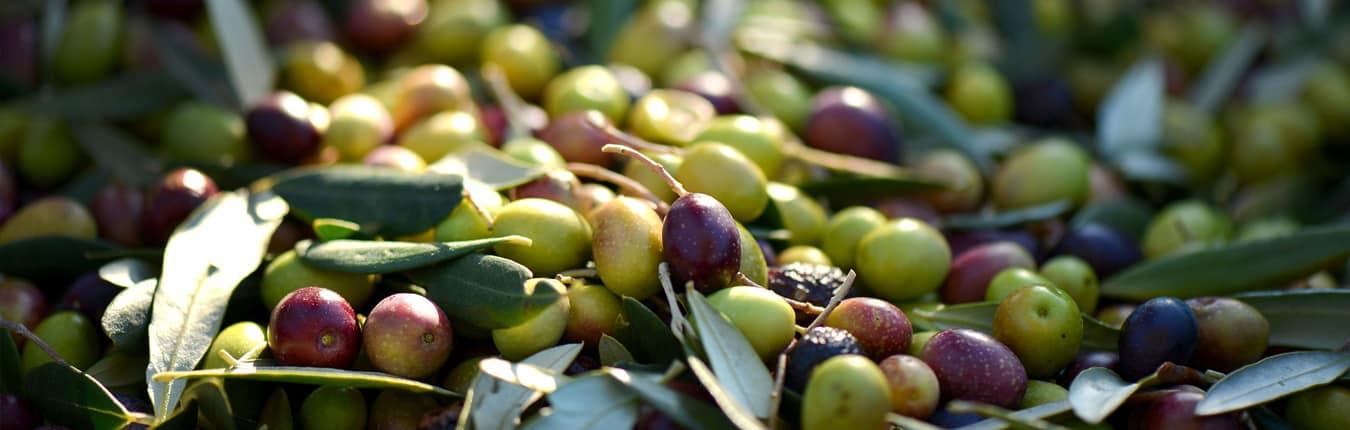 Olive sarde fresche verdi e viola