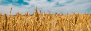 Campo di cereali con spighe dorate
